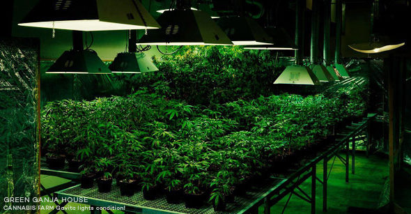 cannabis-lighting-green-ganja-house