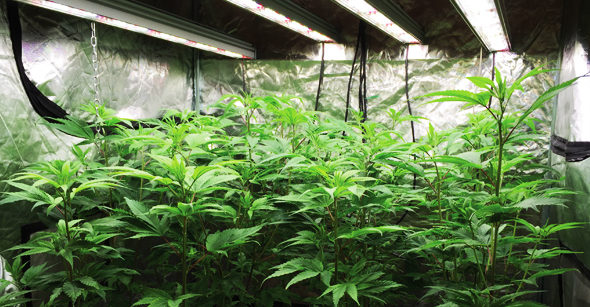 cannabis-lighting-green-ganja-house-about